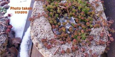 Succulents-ice-hypertufagardener
