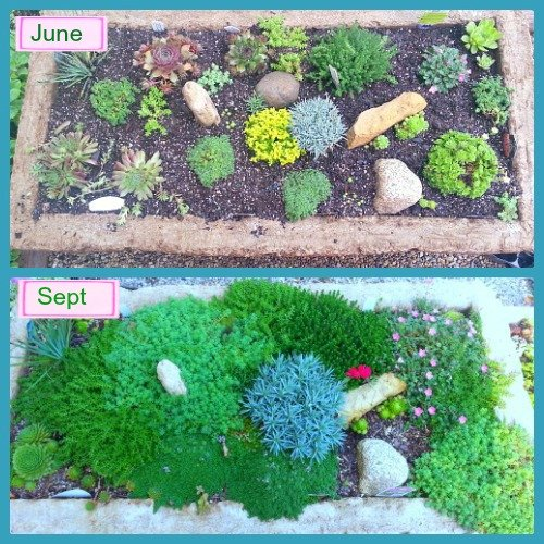 2014 June to Sept T Rex Trough from The Hypertufa Gardener