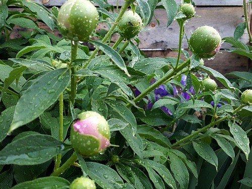 Peonies-Iris-Hypertufa-gardener