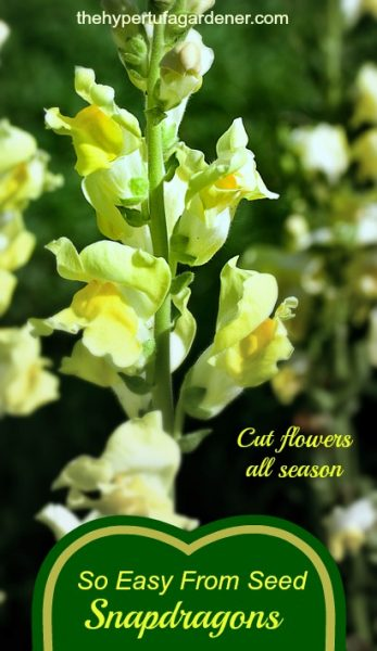 image of yellow snapdragons