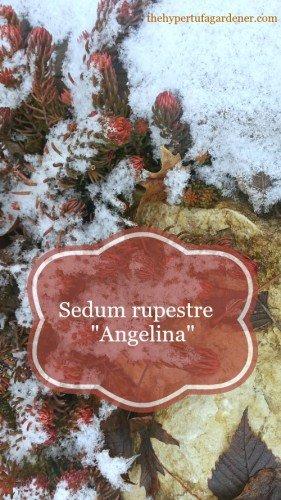 "Sedum rupestre ""Angelina"" in a hypertufa pot. Wonderful colors!"