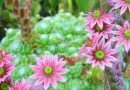 Sempervivum Arachnoideum – Love Those Cobwebs