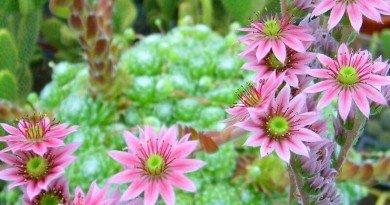 Sempervivum-arachnoideum-closeup the hypertufa gardener