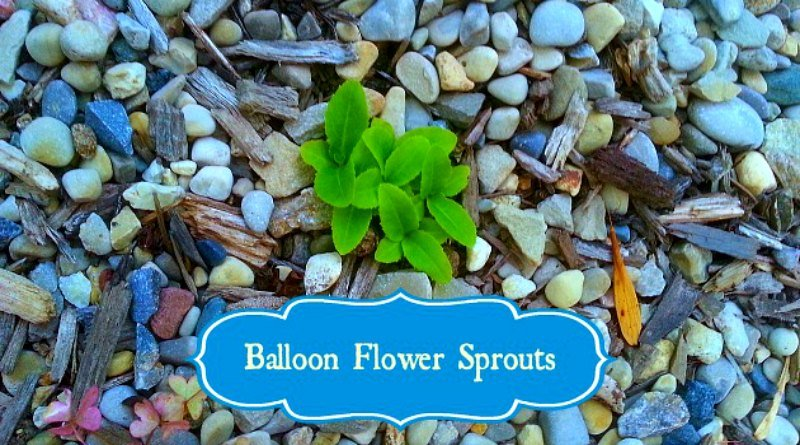 Balloon Flower Sprouts - these can come up from a piece of cut root