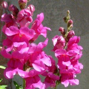 snapdragons-hypertufa-gardener