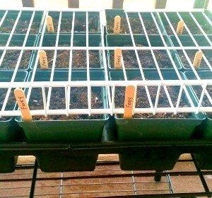 Foxy-seedlings-hypertufa-gardener