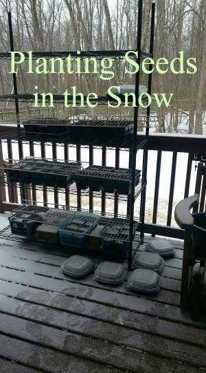 Seeds sown in the snow. Wintersowing works!