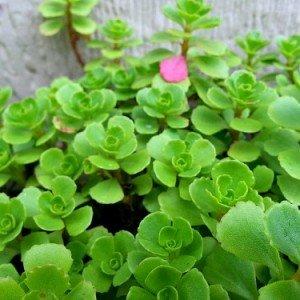 sedum-spurium-hypertufa-gardener