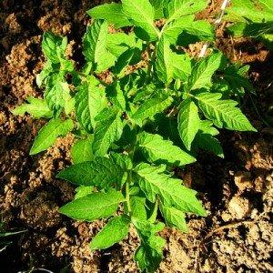 tomato-hypertufa-gardener