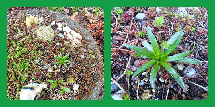 FirepitHypertufawithsucculents-hypertufa-gardener