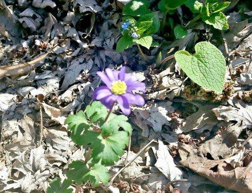Grecian-windflower-spring-anemone-hypertufa-gardener