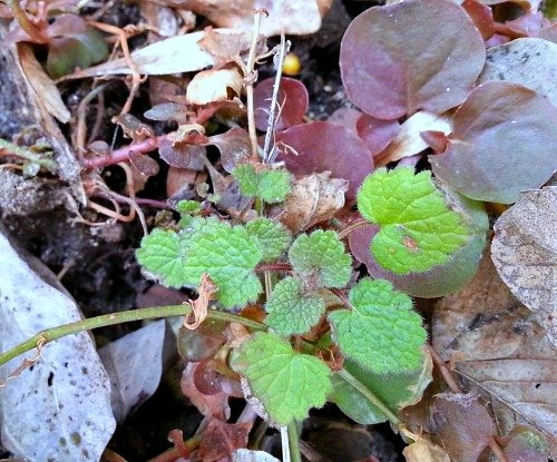 Ground Ivy, Creeping Charlie, Glechoma hederacea-hypertufa