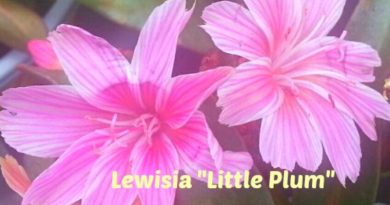 Springtime - Lewisia Little Plum
