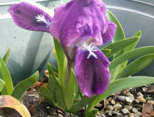 dwarf-iris-hypertufa-gardener2