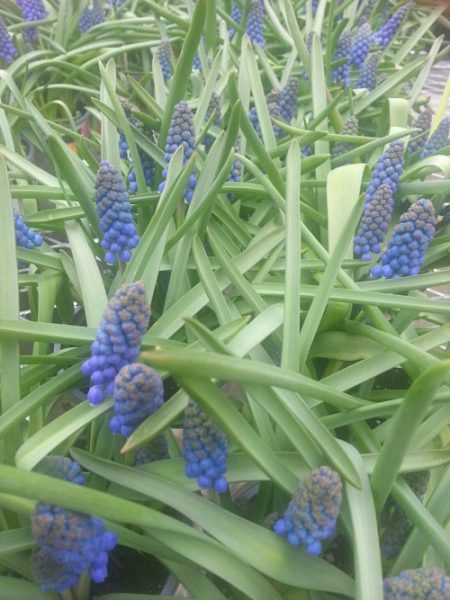 grape-hyacinth-hypertufa-gardener