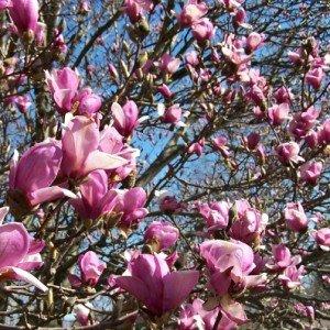 magnolia-hypertufa-gardener
