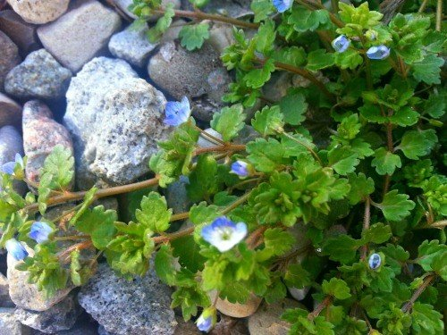 image of persian-or-birdseye-speedwell