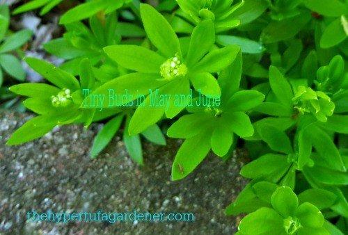 2sweet-woodruff-hypertufa-gardener