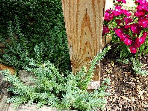 Blue-spruce-sedum-hypertufa-gardener