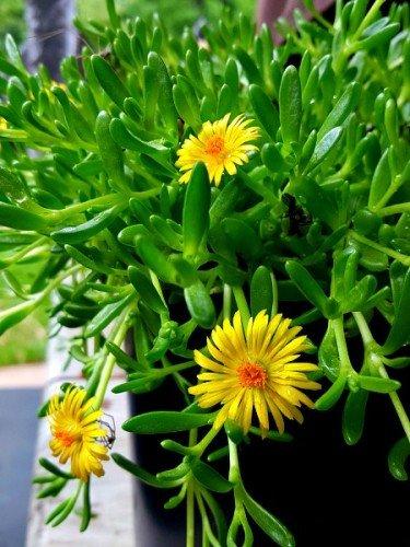 Delosperma-cooperi-hypertufa-gardener