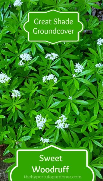 Here is a great shade groundcover - Sweet woodruff. Covered with flowers in May.