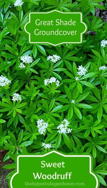 image of sweet woodruff