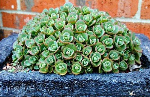 Sedum-Lime-zinger-hypertufa-gardener