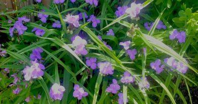 Spiderwort - early morning in the garden