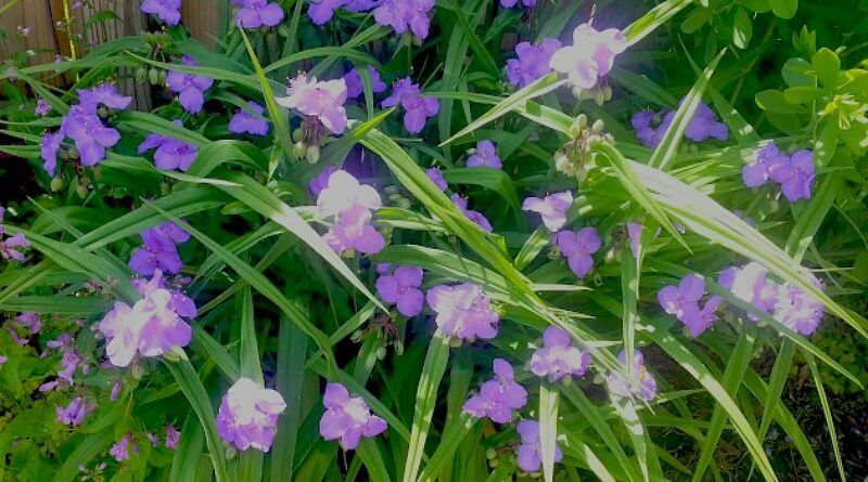 Spiderwort - early morning in the garden