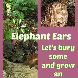Beautiful Elephant Ears coming soon