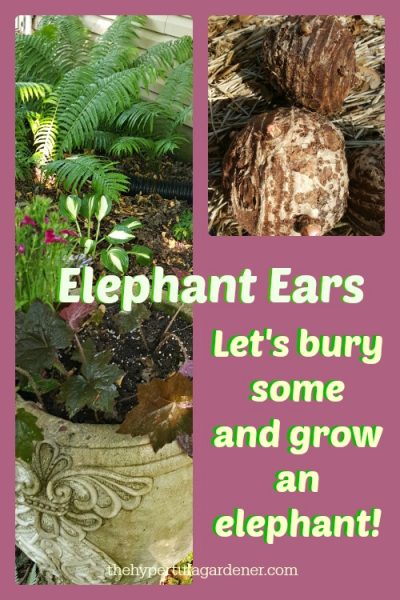 Elephant Ears coming soon to my garden. I love the lush look.