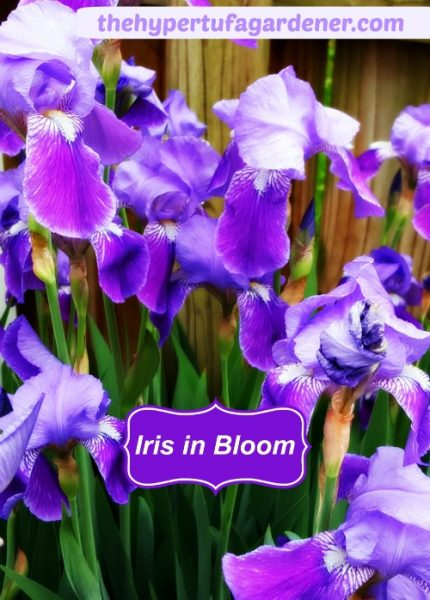 Spring-Iris-Bloom-hypertufa-gardener