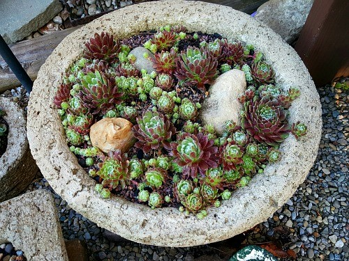 Large hypertufa planter with tiny sempervivum