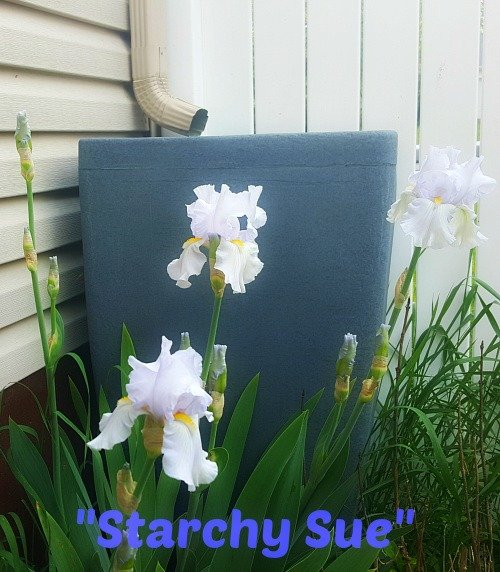 Starchy-Sue-Iris-hypertufa-gardener
