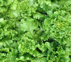 lettuce-garden-hints-hypertufa-gardener
