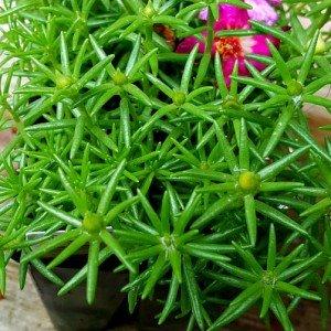 portulaca-moss-rose-hypertufa-gardener