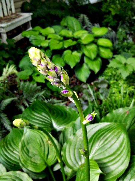 Hosta Blossom June - thehypertufagardener.com