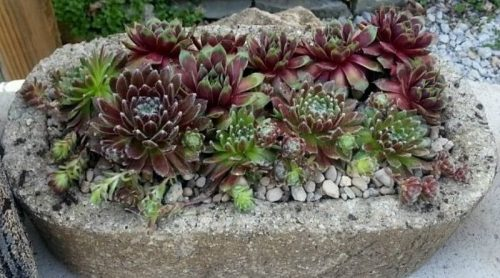 Sempervivums! What's Going On?