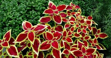 Memories from my Grandma's Garden - coleus