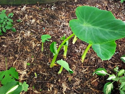sprouting elephant ears - the hypertufa gardener