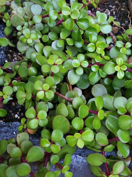 Mini Jade Plant - Portulacaria afra