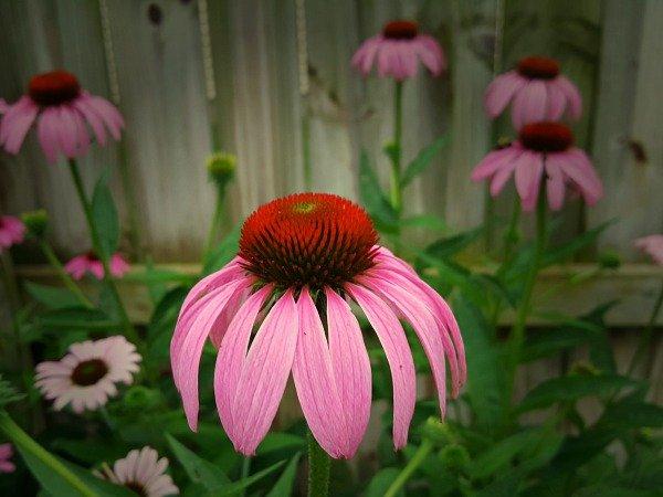 Coneflower - The Hypertufa Gardener