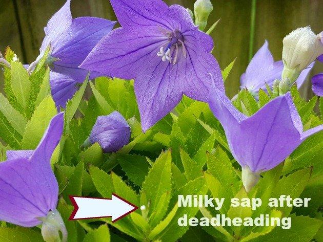 Deadhead with milky sap - the hypertufa gardener
