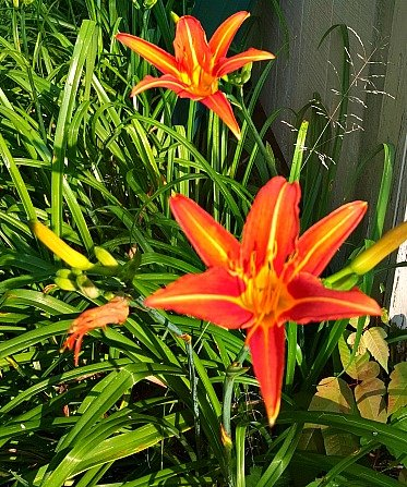 Ditch Lilies - The Hypertufa Gardener