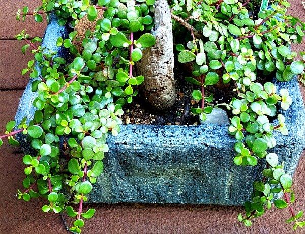 Dwarf Jade or Portulacaria afra