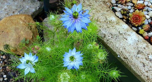 Love in a Mist - The Hypertufa Gardener
