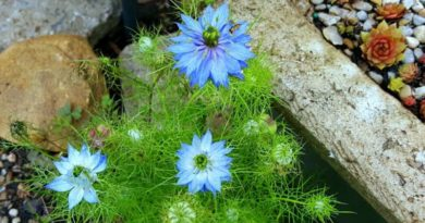 Love in a Mist - Color in the Summer Garden
