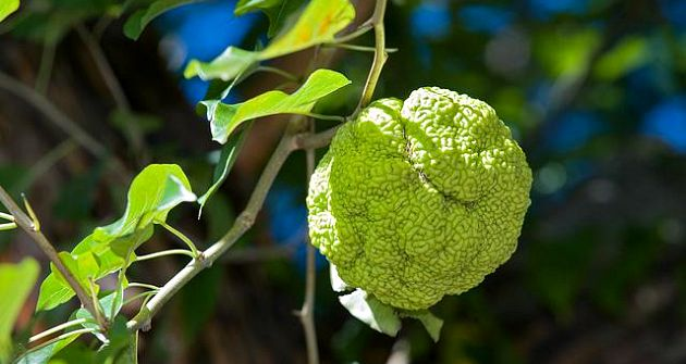 Osage Orange Spider Repellant - The Hypertufa Gardener