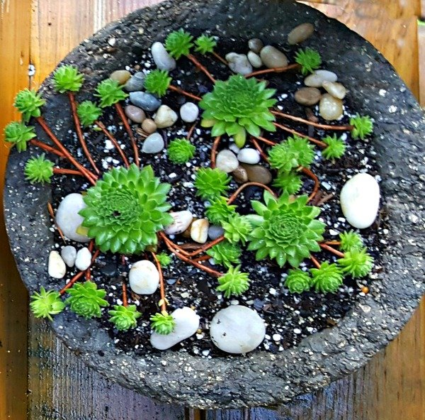 Semps in a Hypertufa Bowl - The Hypertufa Gardener