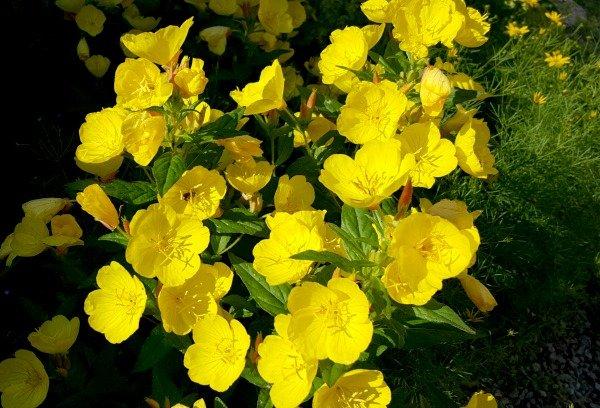 Sundrops - The Hypertufa Gardener